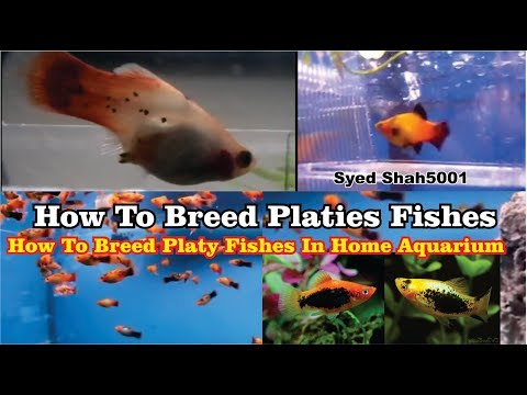 How To Breed Platy Fishes | Live Bearers Fry's #platys