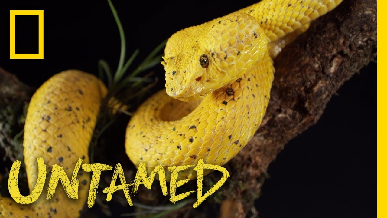 Yellow Eyelash Viper Untamed Youtube
