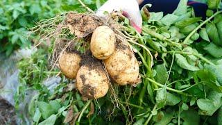 (SUB) 햇감자로 만든 감자요리  3가지 / kore…