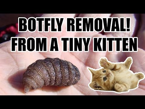 Botfly removal on a tiny kitten