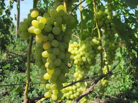 Лучший виноград для новичков | выращивании | стабильным | новичков | виноград | проблем | высоким | плевен | лучший | знал | при