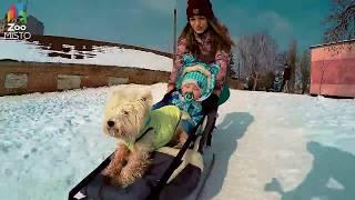 ГоПро и Вест-хайленд-уайт-терьер - Мир глазами собаки зимой / GoPro and West Highland White Terrier