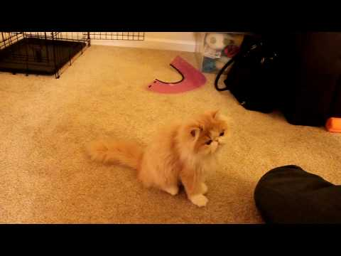 Pet training : Persian kitten Cooper learns dog tricks 貓の訓練