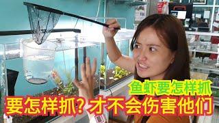 分享要如何选择鱼网抓虾或鱼?要怎样抓虾?用什么渔网才适合?how to catch shrimp by aquarium net