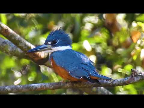 Ringed Kingfisher resting, Swaying in the wind, Megaceryle torquata,  Coraciiformes,
