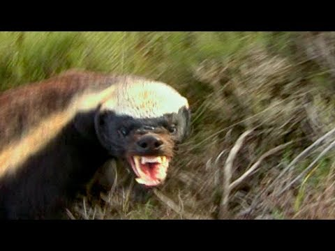 How NOT to Keep Away from a Honey Badger's Teeth | Deadly 60 | Earth Unplugged