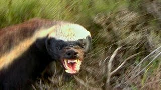 How NOT to Keep Away from a Honey Badger's Teeth | Deadly 60 | Earth Unplugged thumbnail