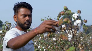 HD Stock video of Indian farmer pulling off cotton from the bush
