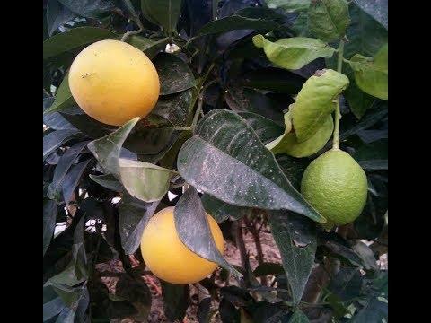 Grafted Bitter orange tree with 2 fruits Lemon & orange. Amazing !