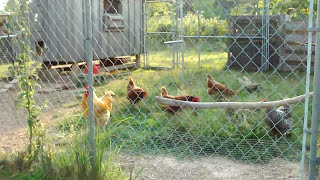 Tour Our Outdoor Chicken Run