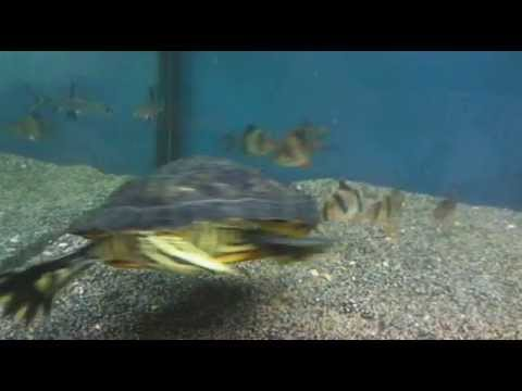 TURTLE feeding on chicken fish fighting for food vs turquoise jewel cichlids