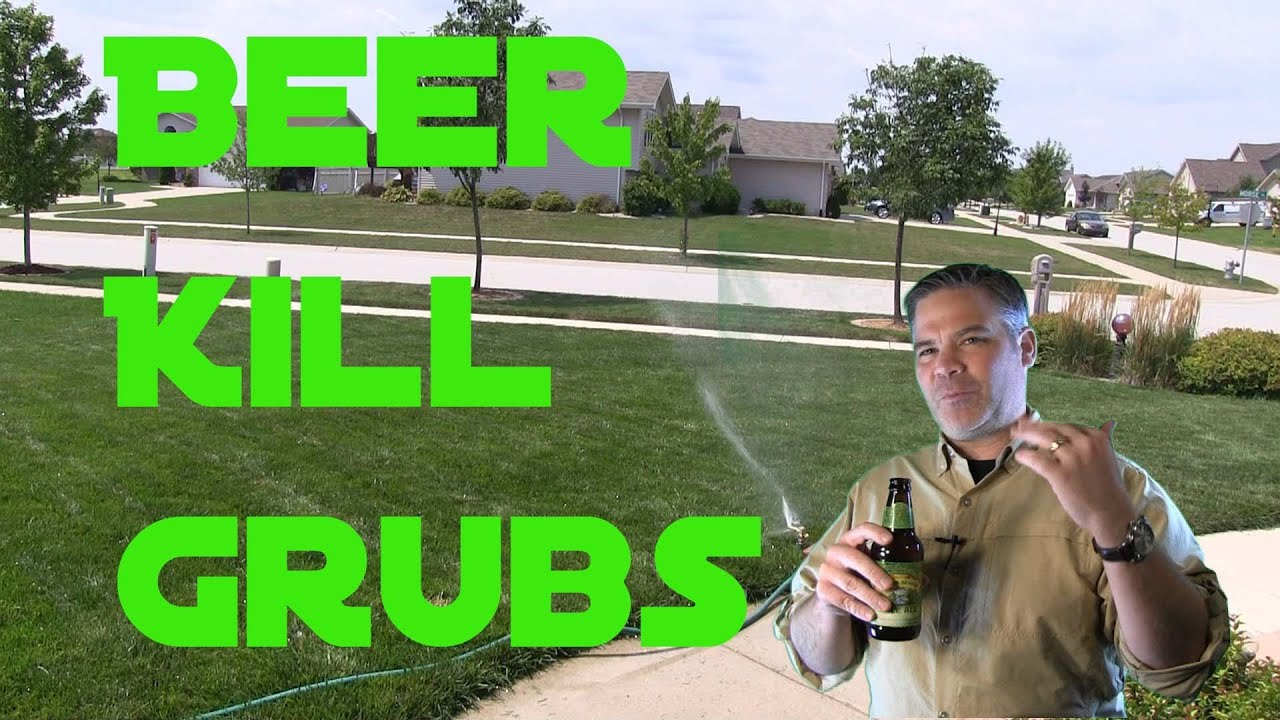 Does Beer Kill Grub Worms In The Lawn Youtube