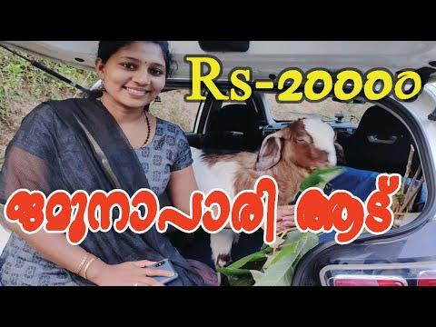 ജമുനാപാരി ആട് വാങ്ങി കാറിൽ കയറ്റി ഒരു യാത്ര creative life skills#ON TRENDS #Topic#jamnapari goat