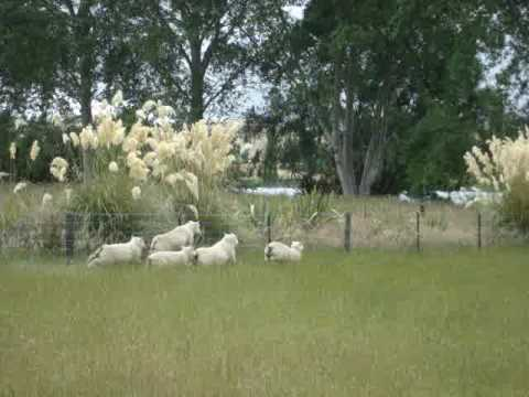 Boy Chasing Sheep. Mom doesn't like it at all, is disappointed