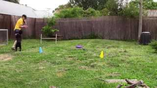 Standard Poodle Obedience In Drive   Quick Dog Training Tips