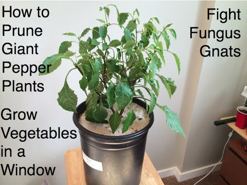 How to Prune Giant Pepper Plants Fight Fungus Gnats and Grow Room Tips Alberta Urban Garden
