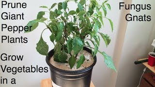 How to Prune Giant Pepper Plants, Fight Fungus Gnats and Grow Room Tips Alberta Urban Garden