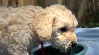Goldendoodles - Daisy
