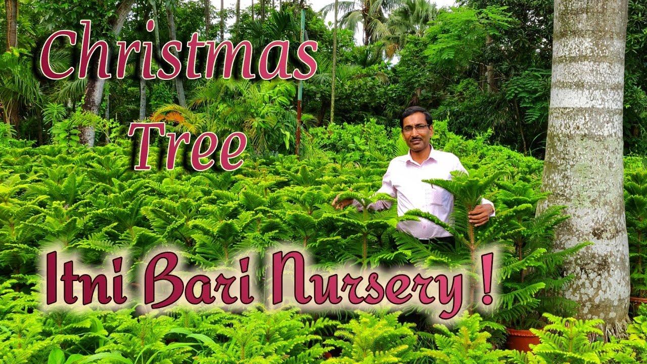 Christmas 🌲 Tree Nursery me Kaise grow karte hai. How Araucaria are grown. - YouTube