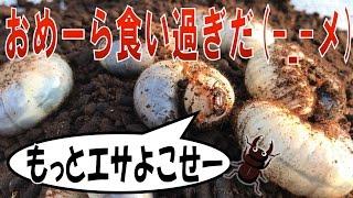 昆虫採集☆カブトムシ☆クワガタムシ 幼虫エサ食い過ぎだろ】(くろねこカ...