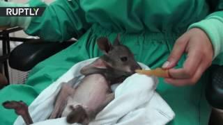 شاهد..حديقة حيوان بأمريكا ترعى صغير كانجرو بعد وفاة أمه