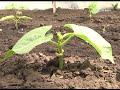 Спасаем растения от грибковой инфекции. Дачные советы от 14.06.2018