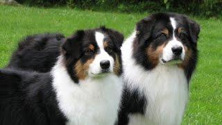 Порода Собак №2 - Австралийская овчарка