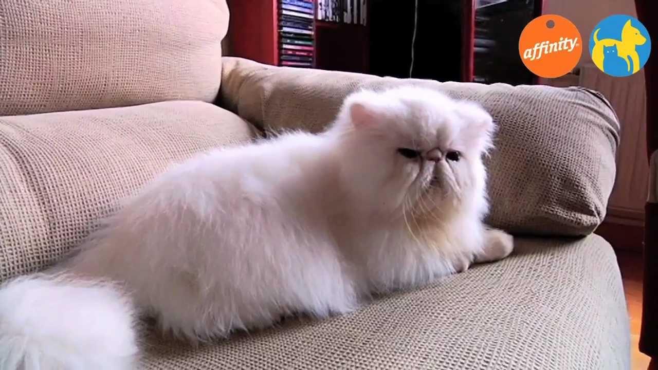 Elige tu raza gato persa m s que perros y gatos 12 for Precio de las alfombras persas