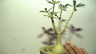 How to Care Adenium Plant in Winter / plants tips & Care // Mammal Bonsai