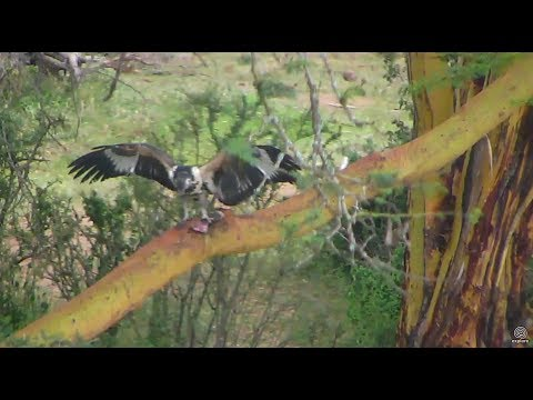 Adult and Juvie Fish Eagles with fish lunch. Africa River cam. 13 June 2017