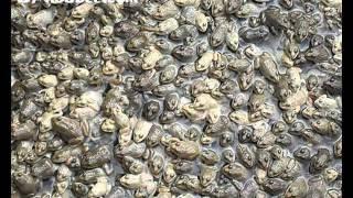 ฟาร์มกบโดยกบดีดอทคอม frog farm by kobdee