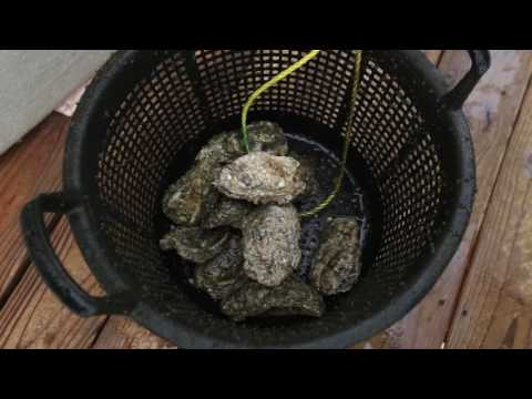 University Of Southern Mississippi Wants To Build A Better Oyster