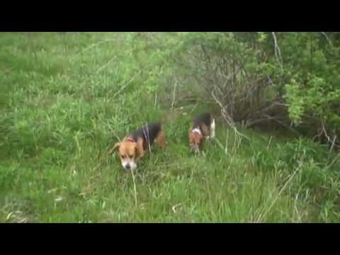Meigs Co. Beagle Club Gun Dog Brace Trial