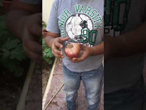Planting onions in Tamil by little Gardeners