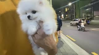 야간 강아지분양 대작전! | 광주강아지분양 | 포메라니…
