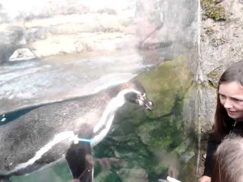 Penguins eating live trout