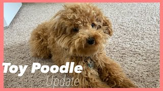 Toy Poodle Full Grown  1 year update