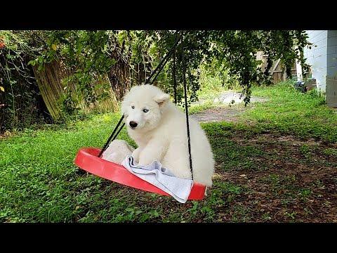 husky-puppy-swings-on-swing