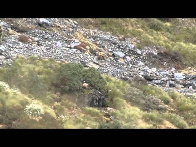 Bu görüntüde kaç hayvan görüyorsunuz  Kamuflaj Ustas? Görünmez Keçiler