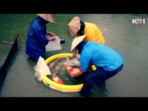 Even in the rain koi harvesting continues. *Japan Warming up