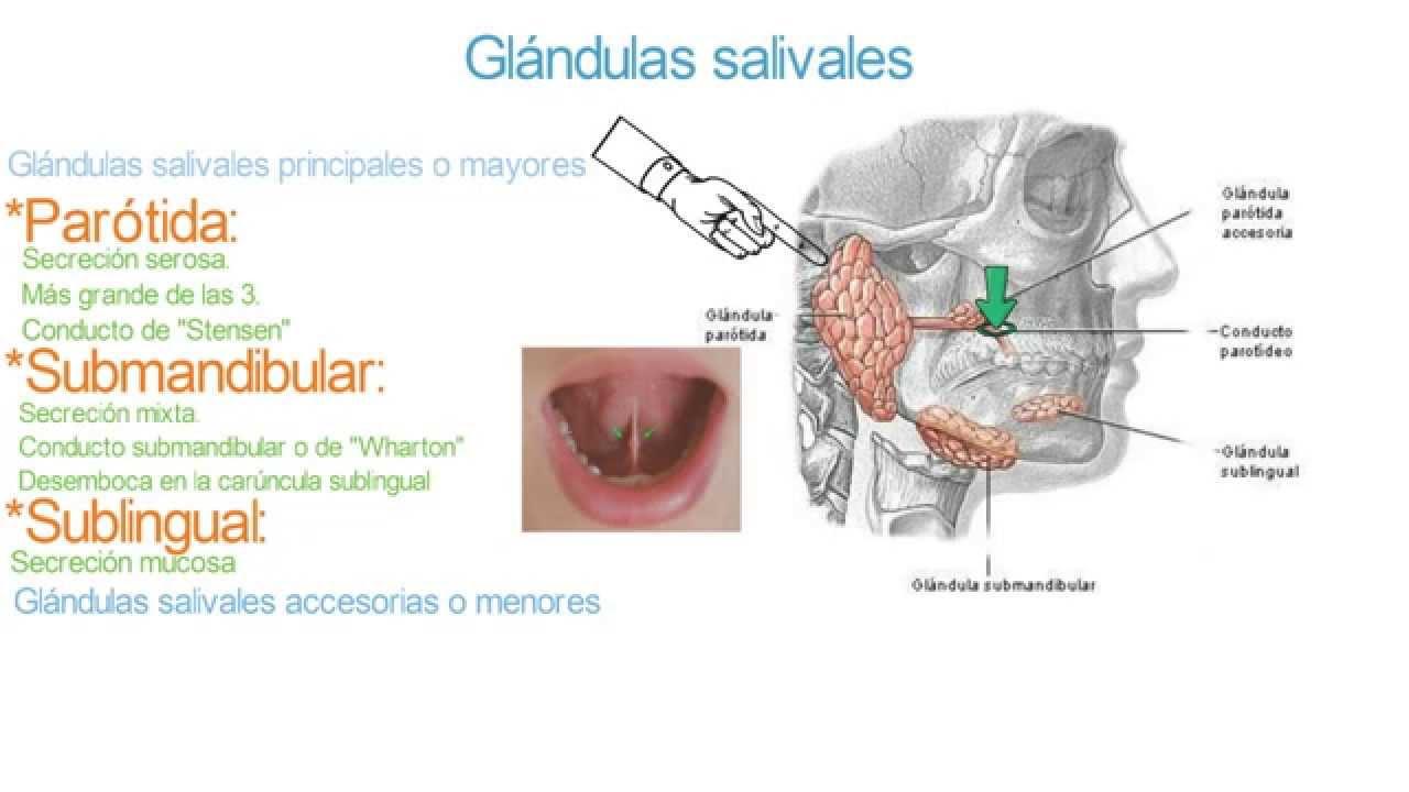 Glándulas salivales - Parótida, submandibular, sublingual y ...