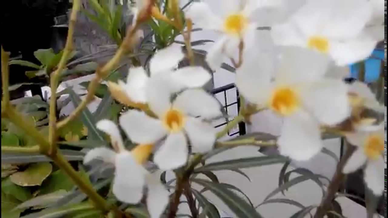Worlds most liked flowers nerium oleander white color flower youtube worlds most liked flowers nerium oleander white color flower mightylinksfo