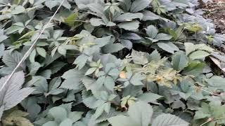 Обрезка девичьего винограда живой изгороди без опор