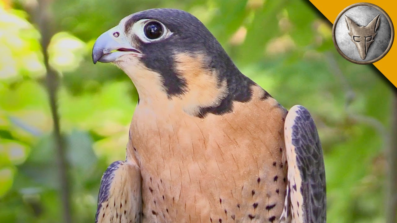 Peregrine Falcon Is The Fastest Animal In The World