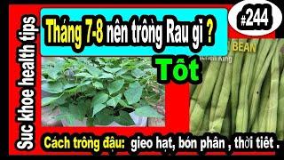 Tháng 7,8,9 TRỒNG RAU GÌ TỐT_Cách trồng Đậu SĂN SÓC TỐT,#244 green beans organic fertilizer
