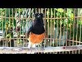 Murai Batu Pastol Gacor Ampuh Naikan Emosi Burung Mb Paud Anakan Yang Masih Trotol Biar Cepat Bunyi  Mp3 - Mp4 Download