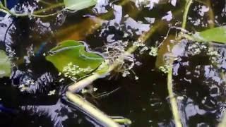 Kolam Ikan Sederhana Kecil Dan Ikan Cupangnya Banyak