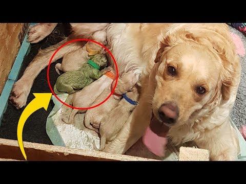 Hooker, DB and Becka - Golden Retriever Gives Birth To Green Puppy