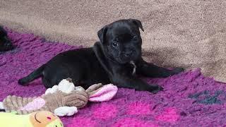 Стаффордширский бультерьер щенки (стаффи)