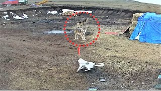 Anatiolian shepherd dog chases off wolves!!!